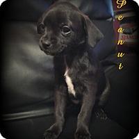 Adopt A Pet :: Peanut - Denver, NC