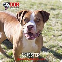Adopt A Pet :: Chester - St. Clair Shores, MI