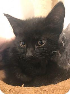 Domestic Shorthair Kitten for adoption in Cincinnati, Ohio - Adidas