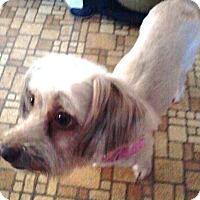 Adopt A Pet :: Bella - Ridgefield, CT