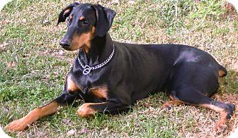 Doberman Pinscher Dog for adoption in Rancho Cucamonga, California - Gillis