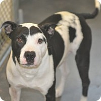 Bull Terrier/Cattle Dog Mix Dog for adoption in Tampa, Florida - Mr. Moo