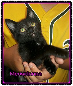 Domestic Shorthair Kitten for adoption in Richmond, California - Meowdonna