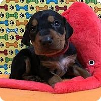 Adopt A Pet :: Oscar red - Valparaiso, IN