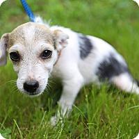 Adopt A Pet :: Carson - Allentown, PA