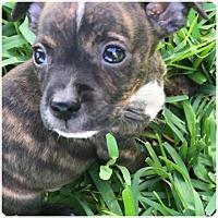Adopt A Pet :: Bandit - Homestead, FL