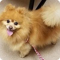 Adopt A Pet :: Romeo - Harrisburg, PA