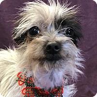 Adopt A Pet :: Lydia - Garland, TX