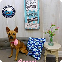 Chihuahua Dog for adoption in Arcadia, Florida - Cersei