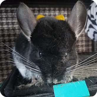 Chinchilla for adoption in Lindenhurst, New York - Godzilla