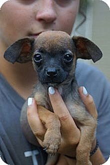 Chihuahua/Dachshund Mix Puppy for adoption in West Nyack, New York - Neve