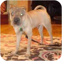 Shar Pei Puppy for adoption in Houston, Texas - Josh