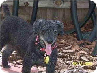 Poodle (Miniature) Dog for adoption in Melbourne, Florida - SOPHIA