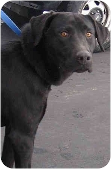 Labrador Retriever Dog for adoption in Avon, New York - Star