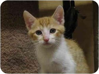 Domestic Shorthair Kitten for adoption in Irvine, California - Star