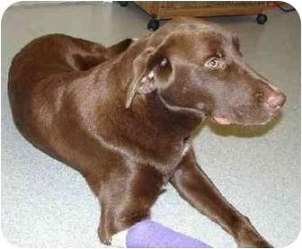 Labrador Retriever/Pointer Mix Dog for adoption in Bowling Green, Kentucky - Coco
