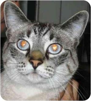 Siamese Cat for adoption in Alden, Iowa - Tink