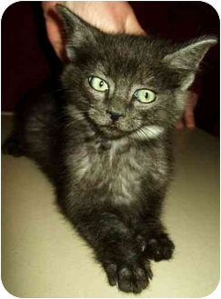 Domestic Mediumhair Kitten for adoption in North Judson, Indiana - Silver