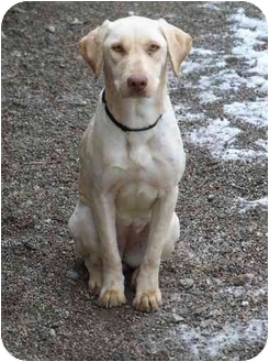 Labrador Retriever Mix Dog for adoption in Salem, Massachusetts - Candy