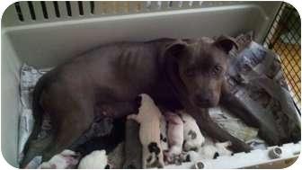 Pit Bull Terrier Dog for adoption in Traskwood, Arkansas - Miracle