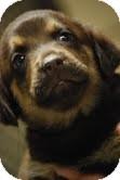 Shepherd (Unknown Type) Mix Puppy for adoption in Waterbury, Connecticut - Ringo
