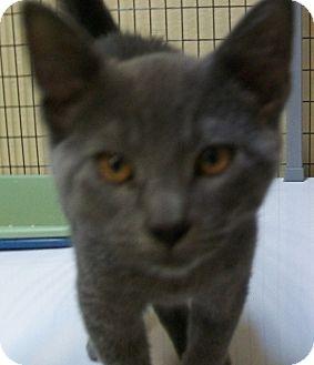 Domestic Shorthair Kitten for adoption in Grants Pass, Oregon - Smokie