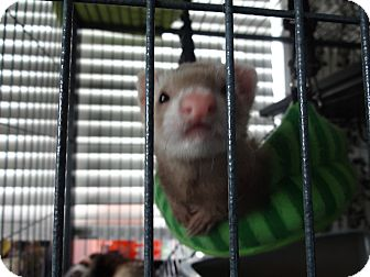 Ferret for adoption in Davie, Florida - Cinnamon