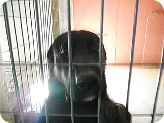 Labrador Retriever Mix Dog for adoption in Stewart, Tennessee - Sheeba