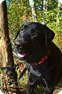 Labrador Retriever/Labrador Retriever Mix Dog for adoption in Bellingham, Washington - Sam