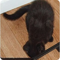 Adopt A Pet :: kitten - black - Westfield, MA
