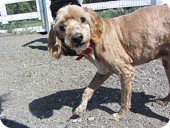 Cockapoo Mix Dog for adoption in Ridgway, Colorado - Scooby