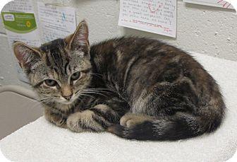 Domestic Shorthair Kitten for adoption in Walden, New York - Brownie Nut