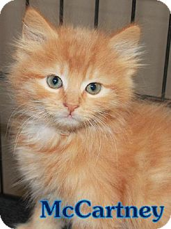 Domestic Shorthair Cat for adoption in Lewisburg, West Virginia - McCartney