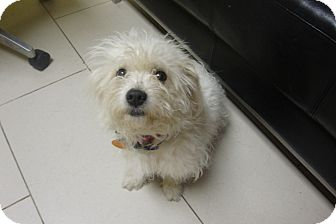 Shih Tzu Mix Dog for adoption in Philadelphia, Pennsylvania - Sugar