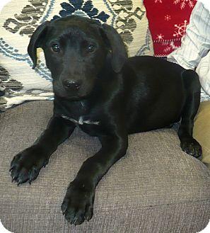 Labrador Retriever Mix Puppy for adoption in Eastpoint, Florida - Nicholas