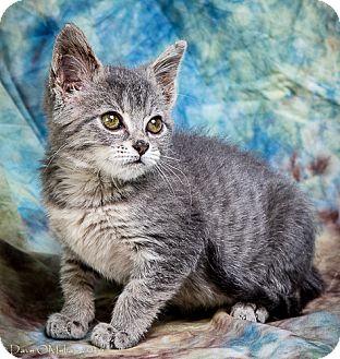 Domestic Mediumhair Kitten for adoption in Anna, Illinois - WALLY