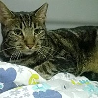 Domestic Shorthair Cat for adoption in Woodside, New York - Lalo