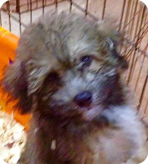 Poodle (Miniature) Mix Puppy for adoption in New Smyrna beach, Florida - Beemer