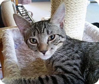 Domestic Shorthair Cat for adoption in Mountain Center, California - Tom Collins