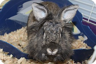 Lionhead Mix for adoption in Middle Island, New York - Lupin