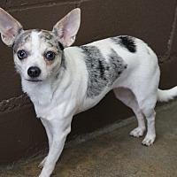 Rat Terrier/Chihuahua Mix Dog for adoption in Los Alamitos, California - Kiku
