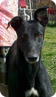 Greyhound Dog for adoption in Randleman, North Carolina - Moxie