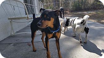 Miniature Pinscher/Manchester Terrier Mix Dog for adoption in Weeki Wachee, Florida - Dooley