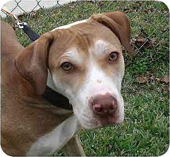 Shar Pei/Labrador Retriever Mix Dog for adoption in Kingwood, Texas - Dash