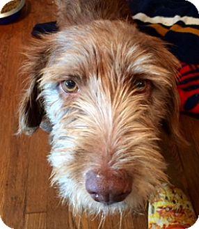Poodle (Standard)/Schnauzer (Standard) Mix Dog for adoption in ST LOUIS, Missouri - SHY