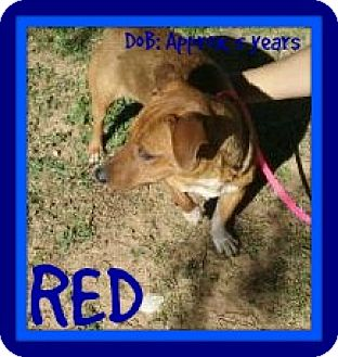 Dachshund Dog for adoption in New Brunswick, New Jersey - RED