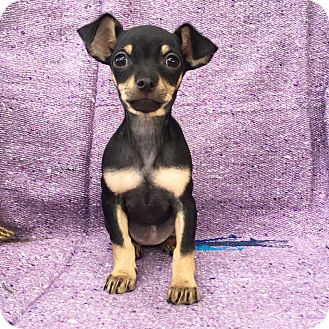 Miniature Pinscher/Spaniel (Unknown Type) Mix Puppy for adoption in santa monica, California - Ceviche