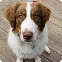Adopt A Pet :: Tilley - Brookeville, MD