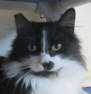 Domestic Mediumhair Cat for adoption in Ridgway, Colorado - Magpie