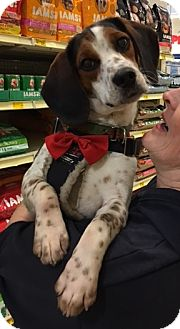 Beagle Mix Dog for adoption in Rochester, Minnesota - Ricky